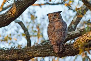 Owl Photo by ARRUF's Bob Flatt